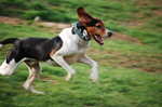 Jumping English Foxhound dog