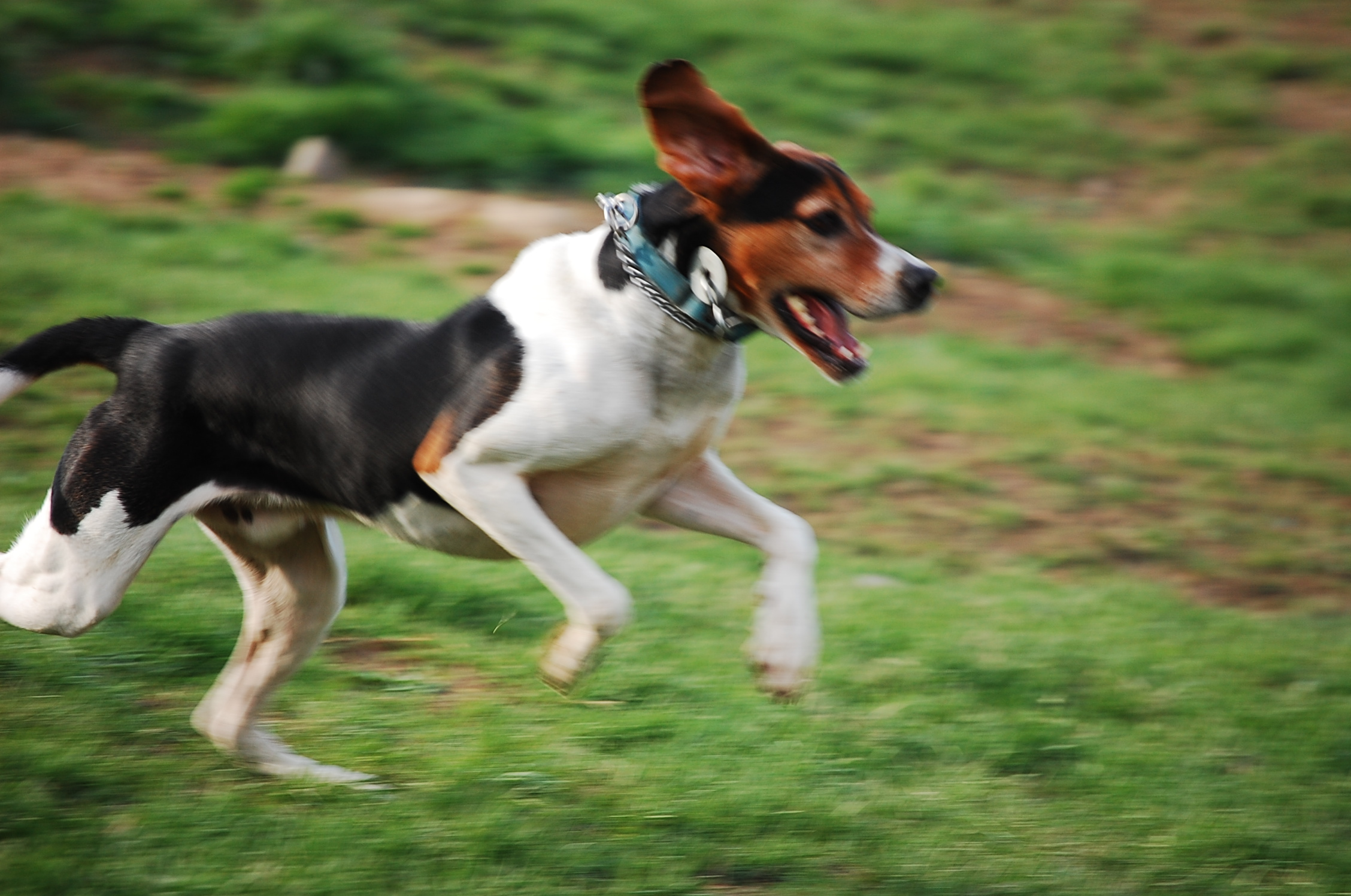 Jumping English Foxhound dog wallpaper