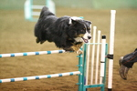 Jumping English Shepherd