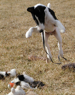 Jumping Fox Terrier (Smooth) dog