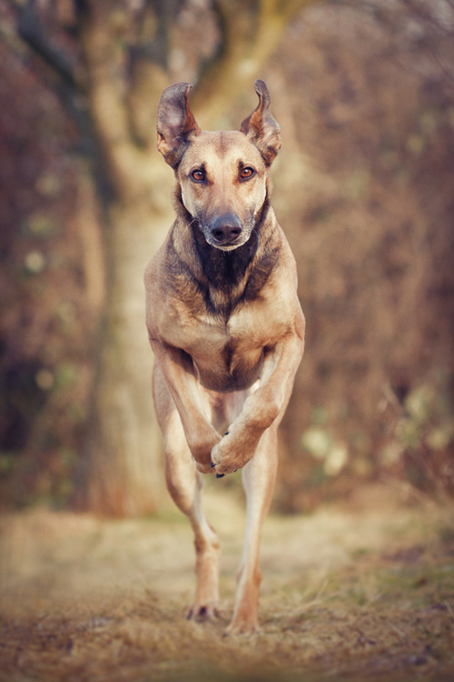 Jumping Galgo Español dog wallpaper