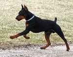 Jumping German Pinscher dog
