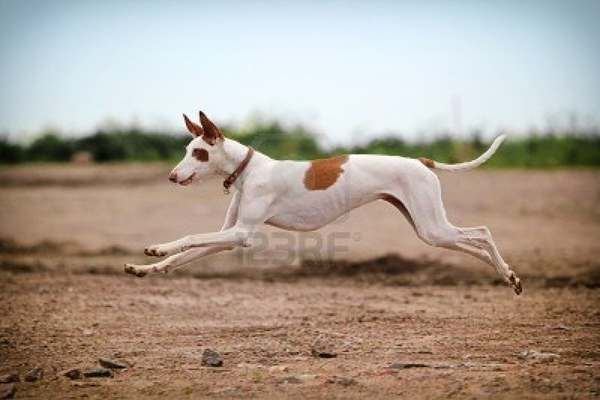 Jumping Ibizan Hound dog wallpaper