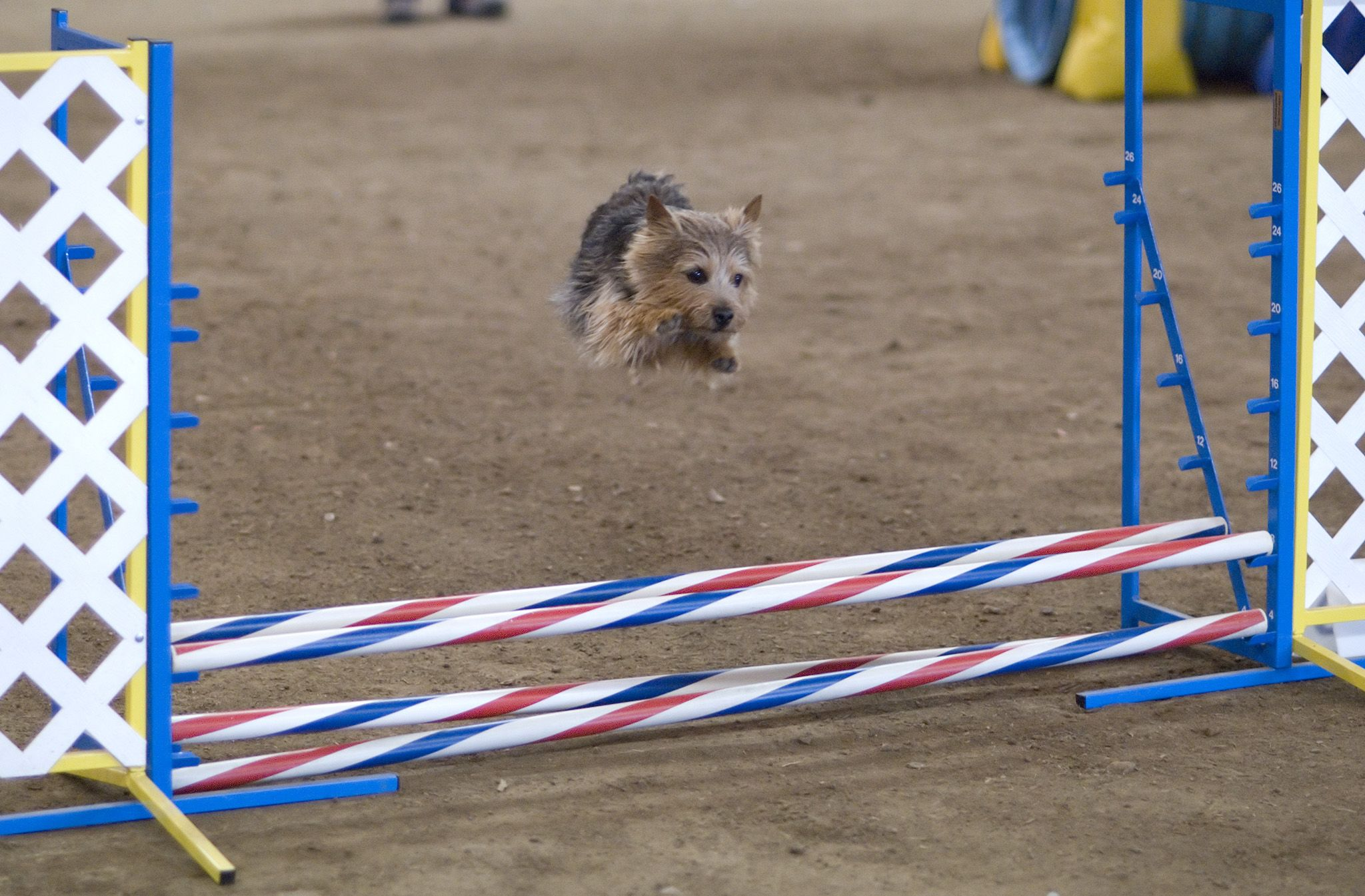 Jumping  Norwich Terrier wallpaper