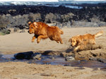 Jumping Nova Scotia Duck-Tolling Retriever dogs