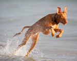 Jumping Pharaoh Hound