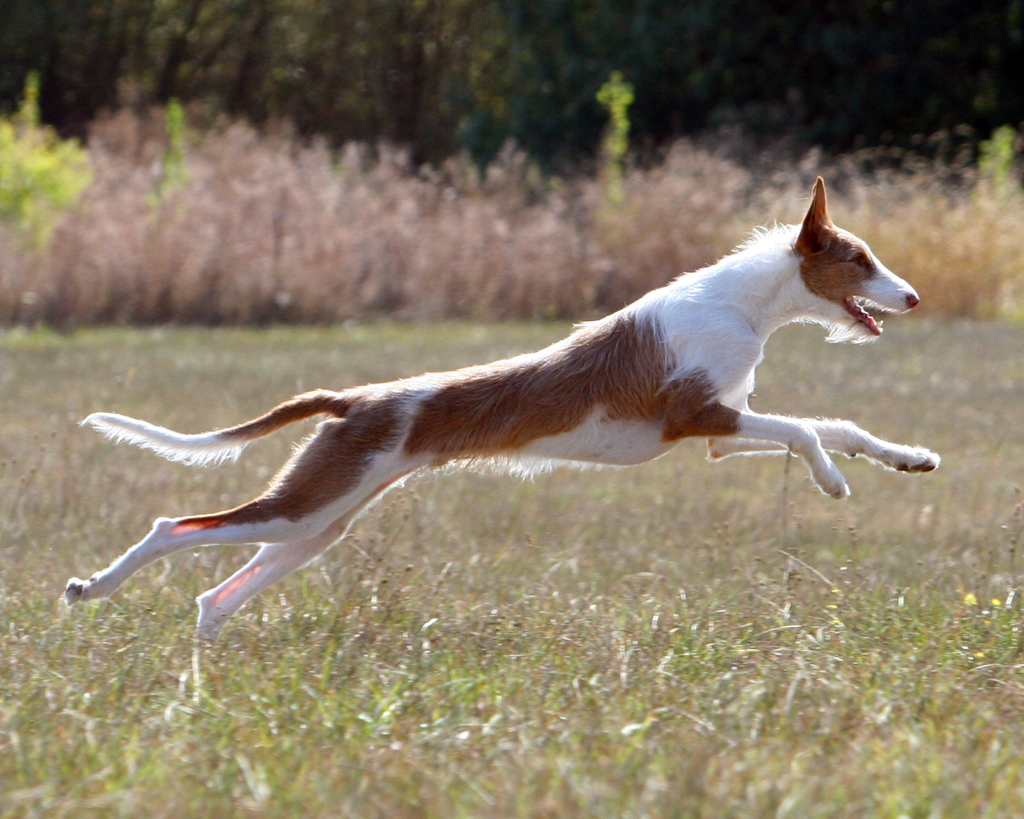 Канарский поденко прыгает фото