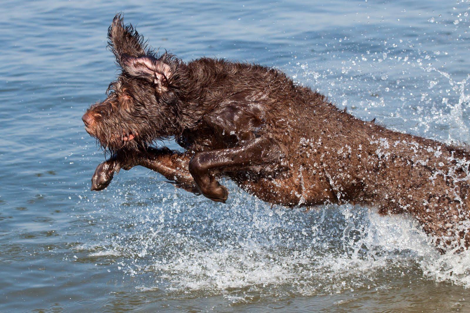Jumping Pudelpointer dog wallpaper