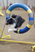 Jumping Shetland Sheepdog