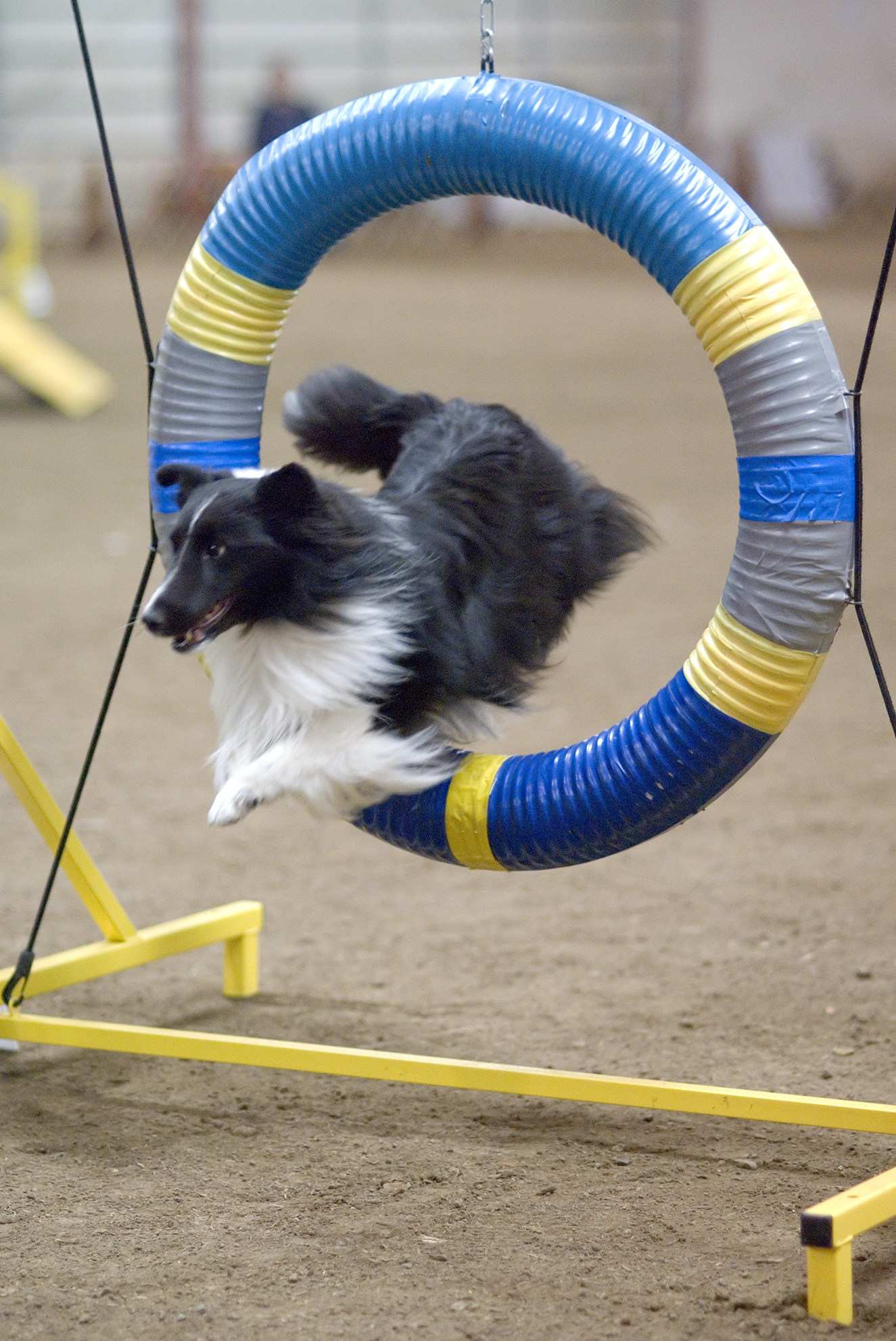Jumping Shetland Sheepdog  wallpaper