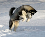 Jumping Siberian Husky dog