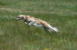 Jumping Silken Windhound