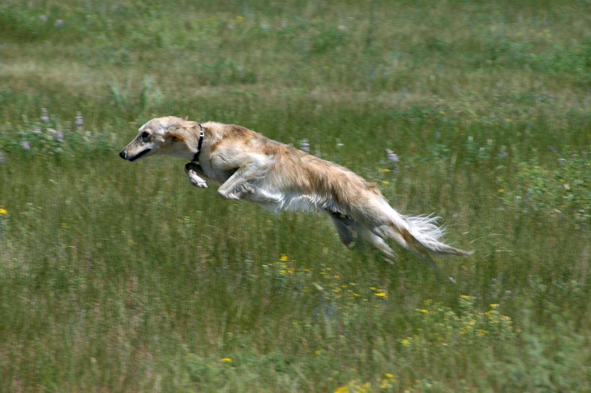 Jumping Silken Windhound wallpaper
