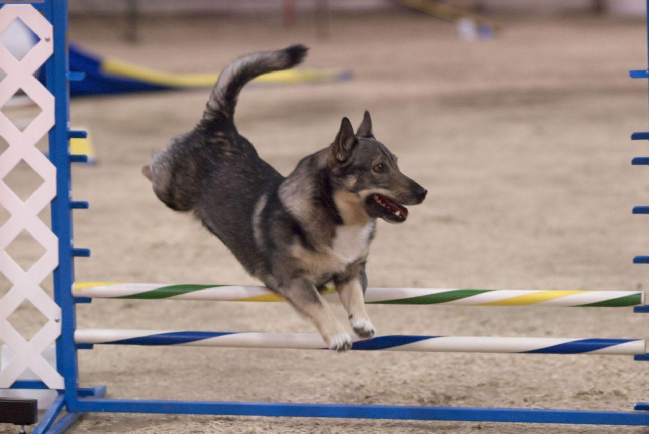 Шведский лаппхунд прыгает фото