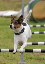 Jumping Tenderfield Terrier