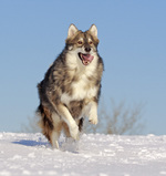 Jumping Utonagan dog