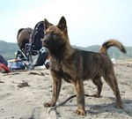 Kai Ken dog on the beach