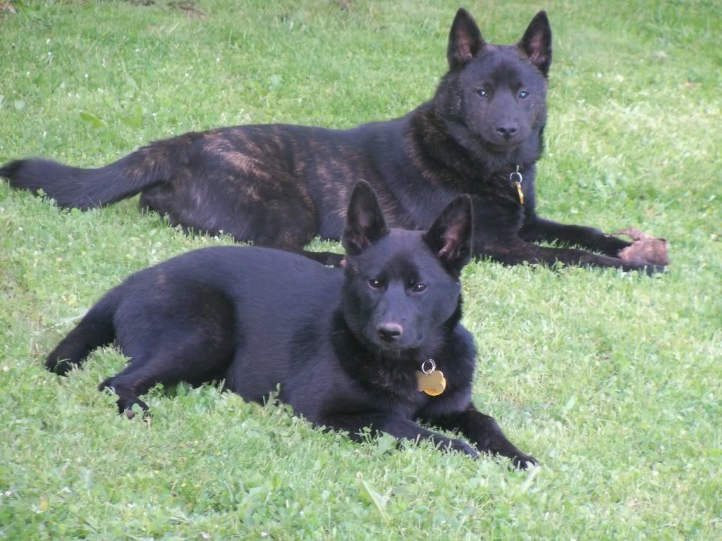 Собаки Каи фото