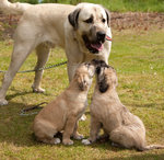 Kangal Dog and her babies