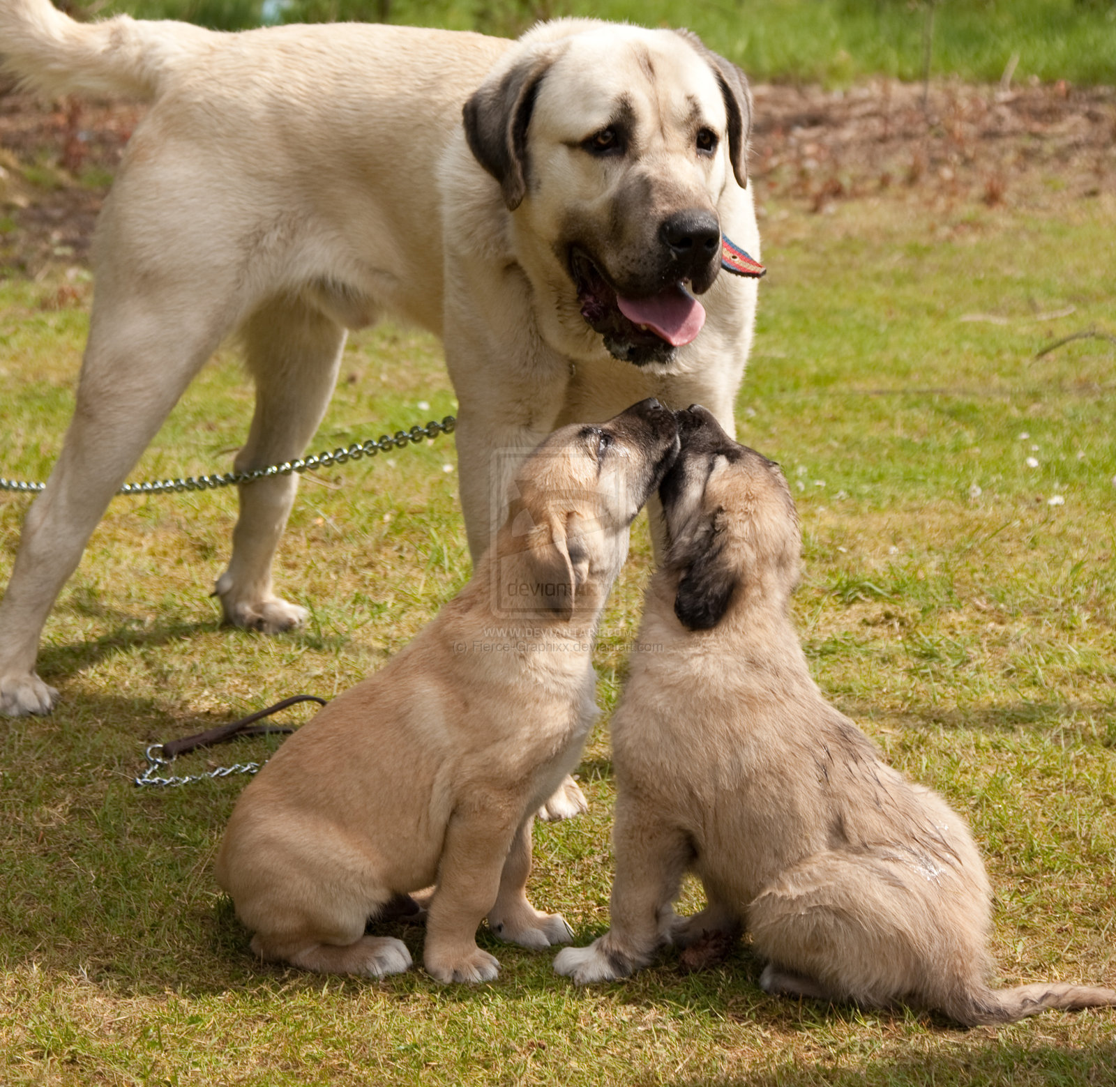Kangal Dog and her babies  wallpaper