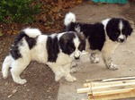 Karakachan Dog puppies