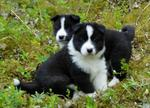 Karelian Bear puppies