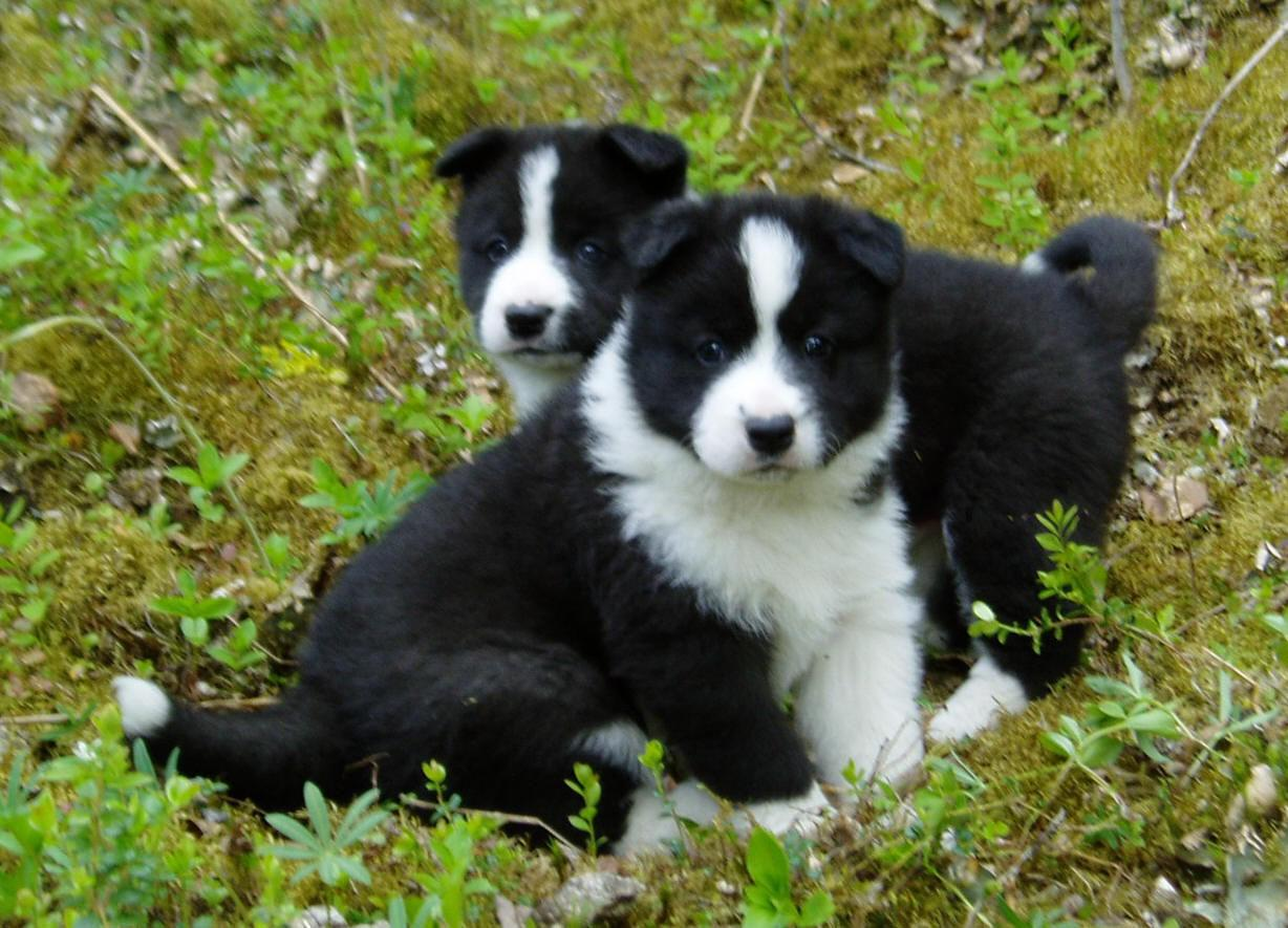 Karelian Bear puppies wallpaper