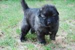Karst Shepherd puppy