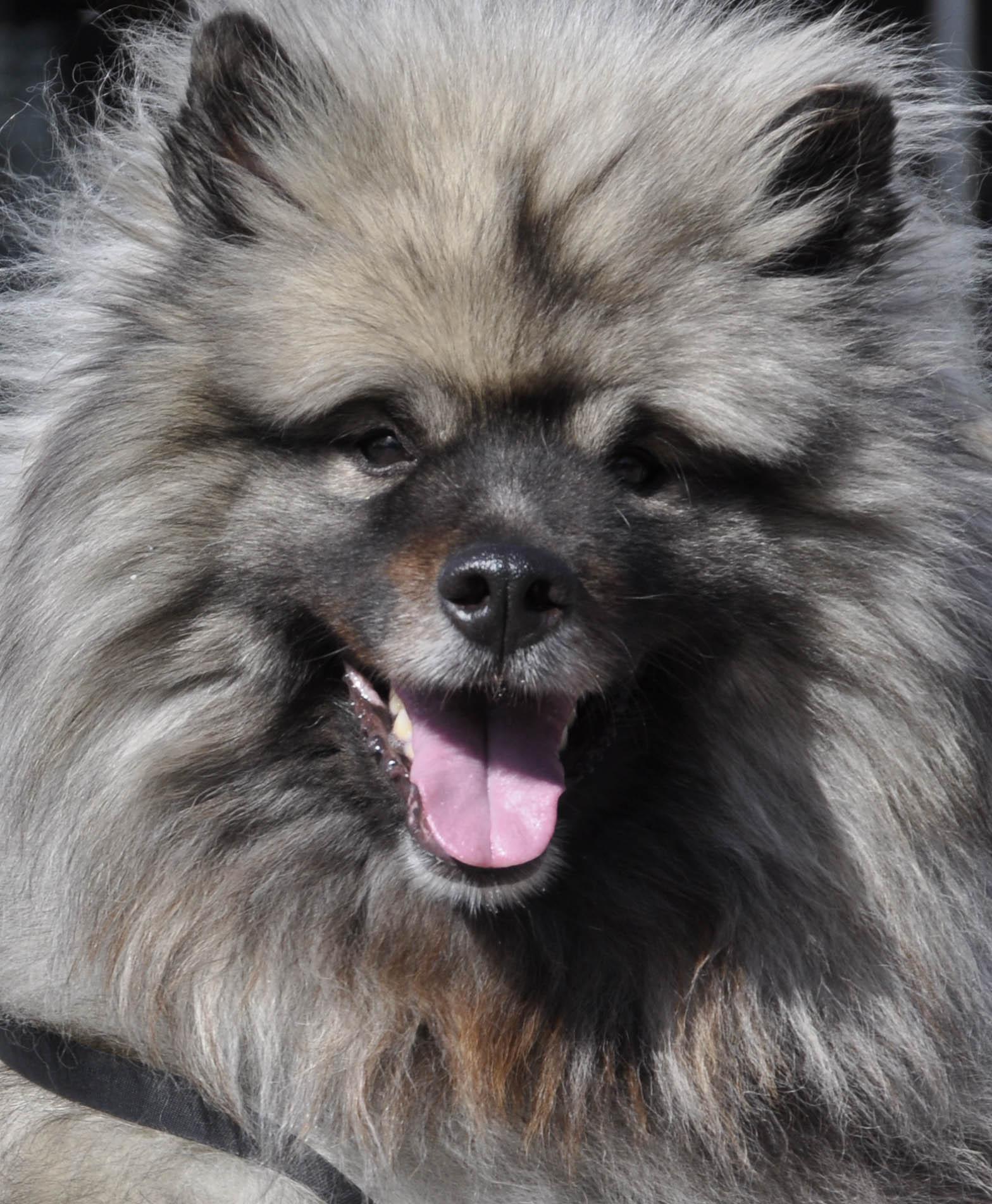 Keeshond dog face wallpaper