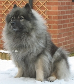 Keeshond dog in the snow