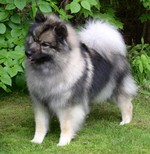 Keeshond dog on the grass