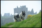 Keeshond dog on the mountain