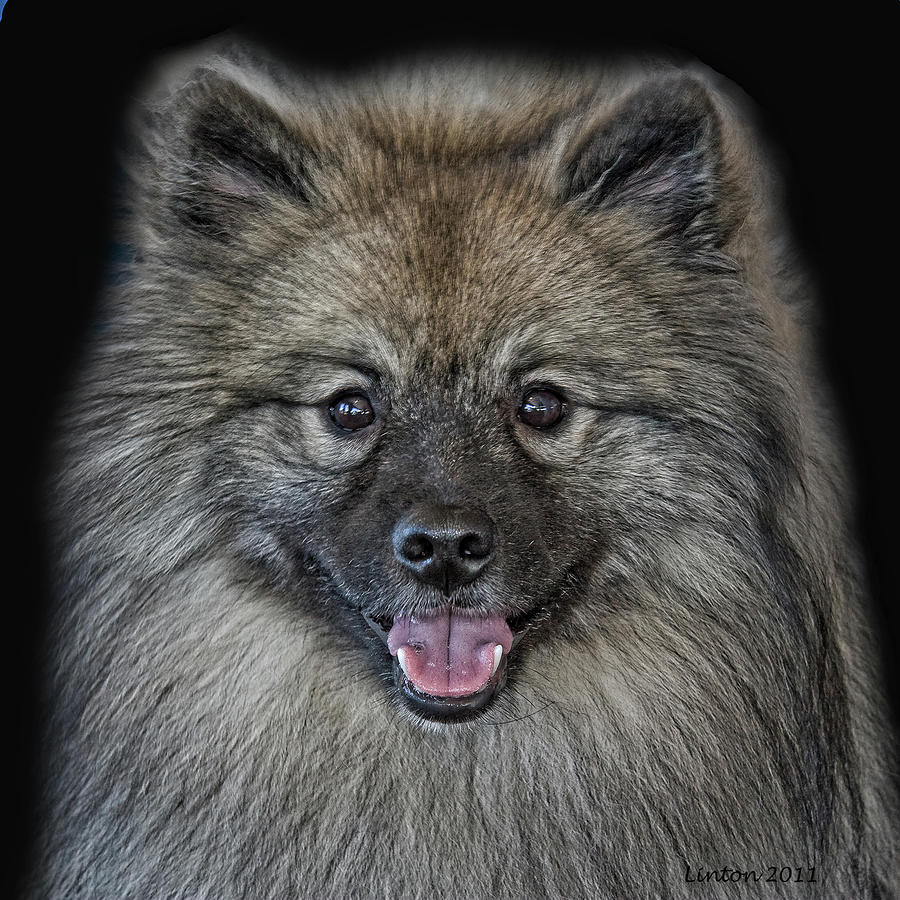 Keeshond dog portrait wallpaper