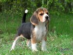 Kerry Beagle puppy