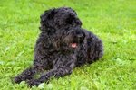 Kerry Blue Terrier dog on the grass