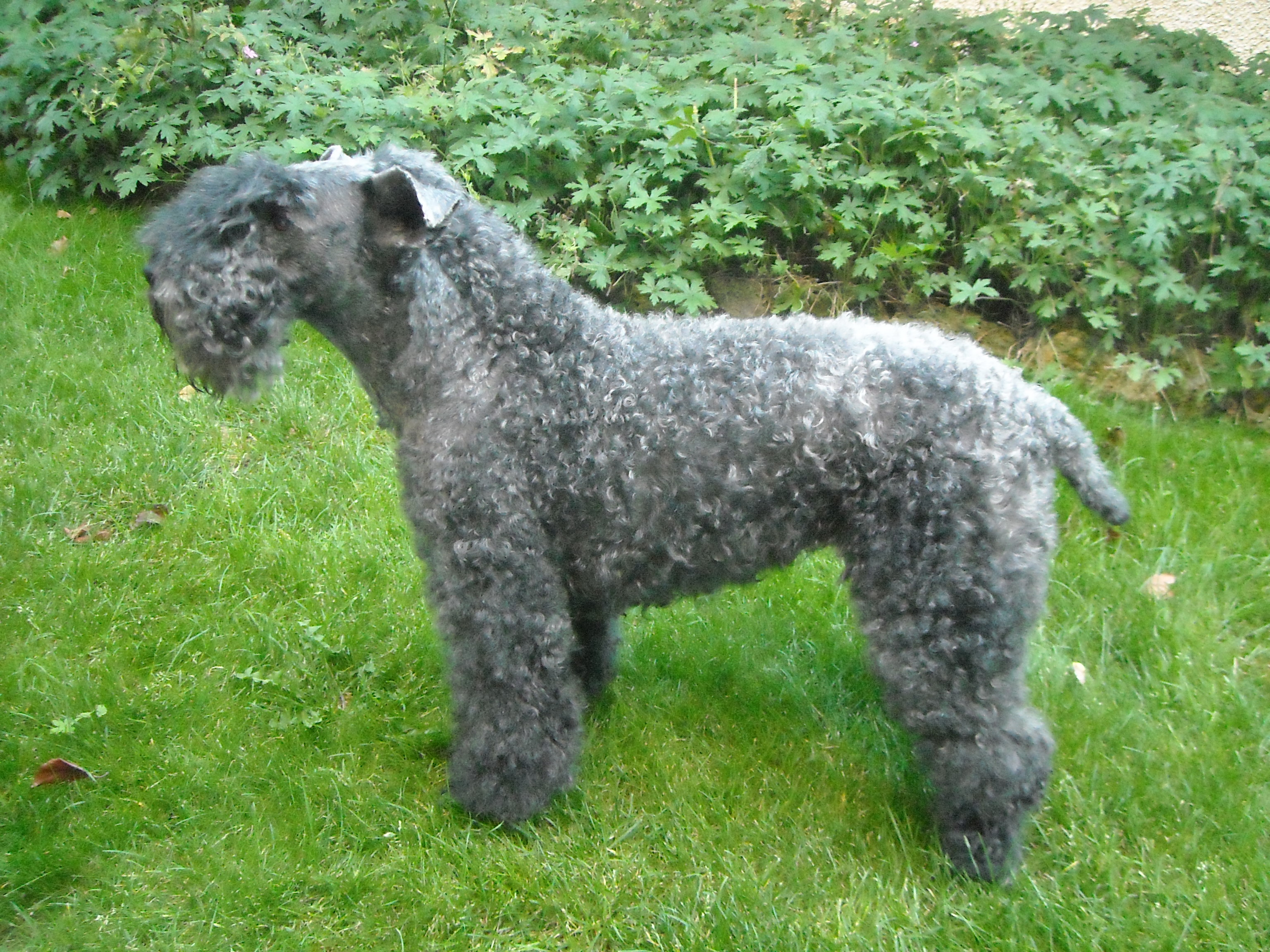 Kerry Blue Terrier Photo And Wallpaper Beautiful Kerry