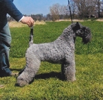Kerry Blue Terrier with the owner