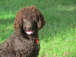 Kindly Irish Water Spaniel dog