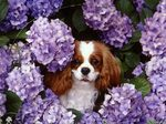 King Charles Spaniel dog in flowers
