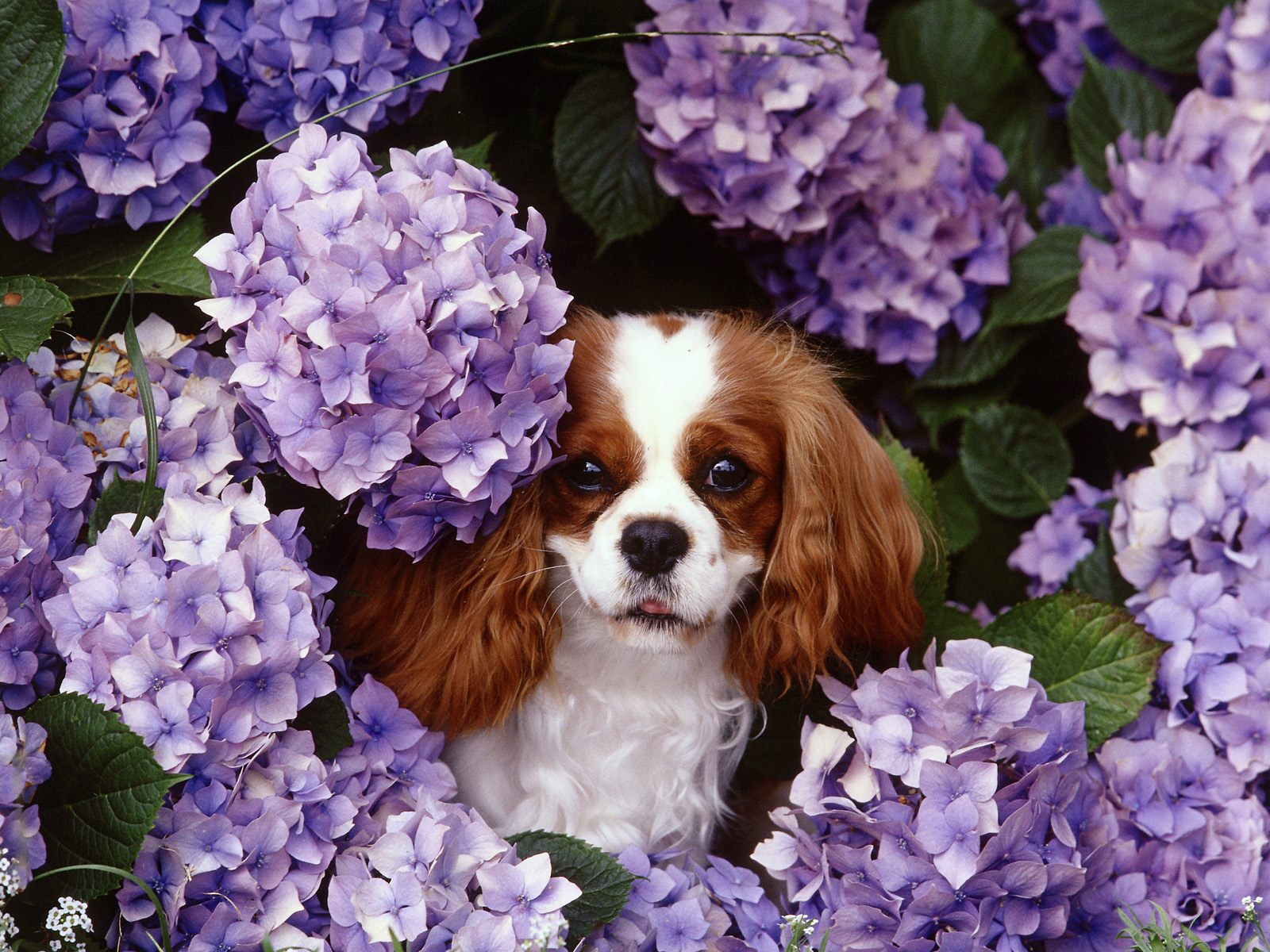 King Charles Spaniel dog in flowers wallpaper