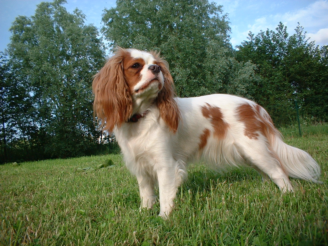 King Charles Spaniel on the grass wallpaper
