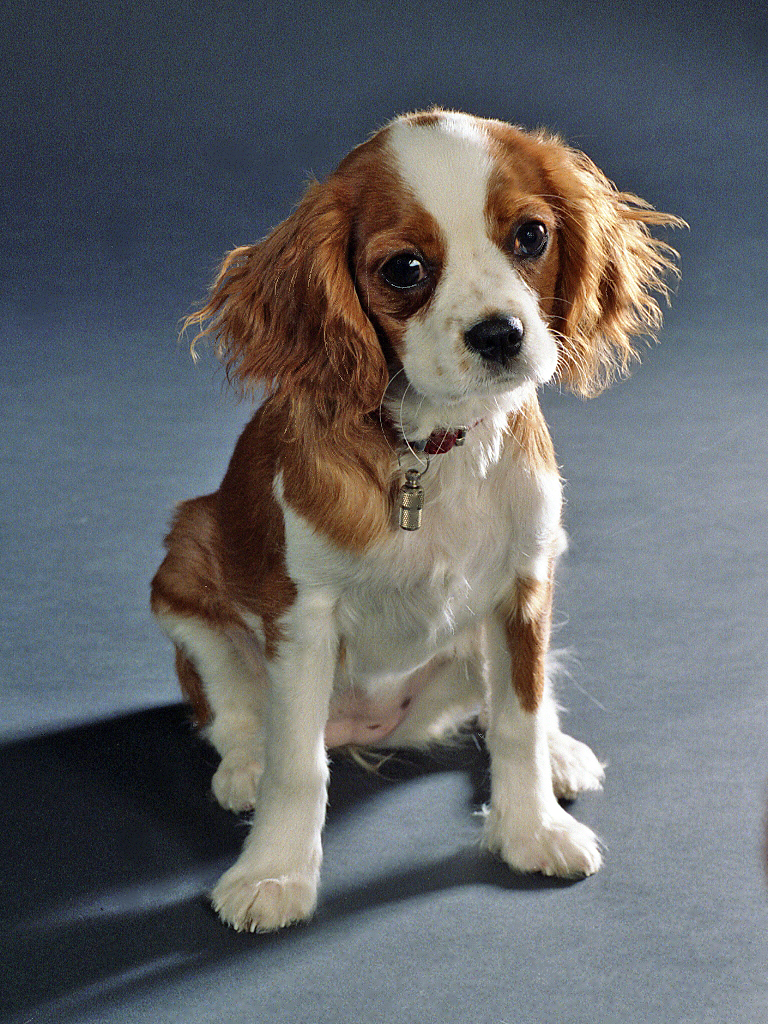 King Charles Spaniel portrait wallpaper
