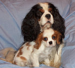 King Charles Spaniel with her baby