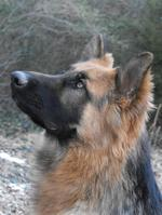 King Shepherd dog face