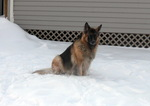King Shepherd dog in the snow