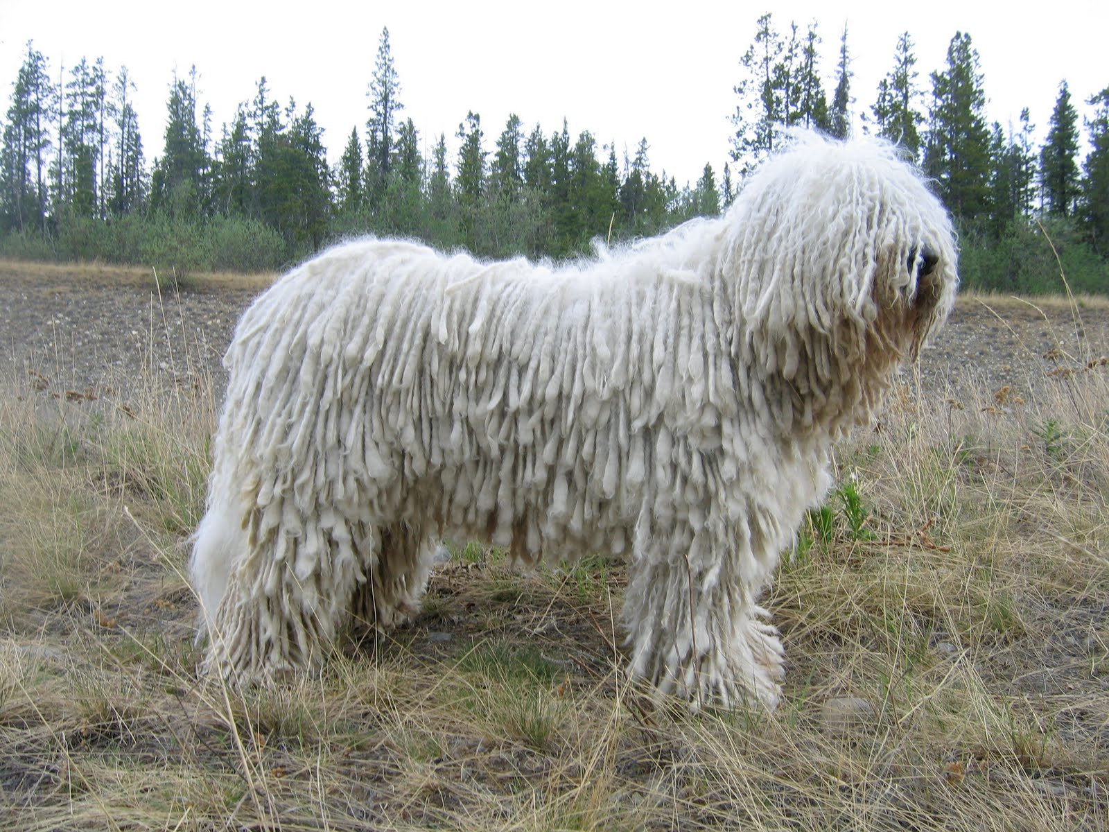 Komondor dog in the field wallpaper