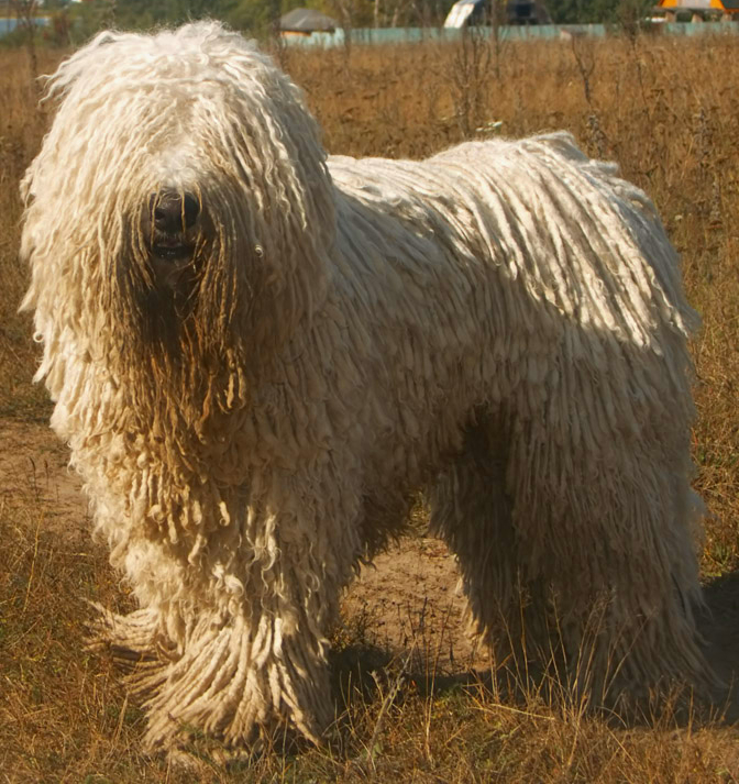 Komondor wallpaper