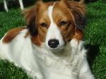 Морда собаки коикерхондье
