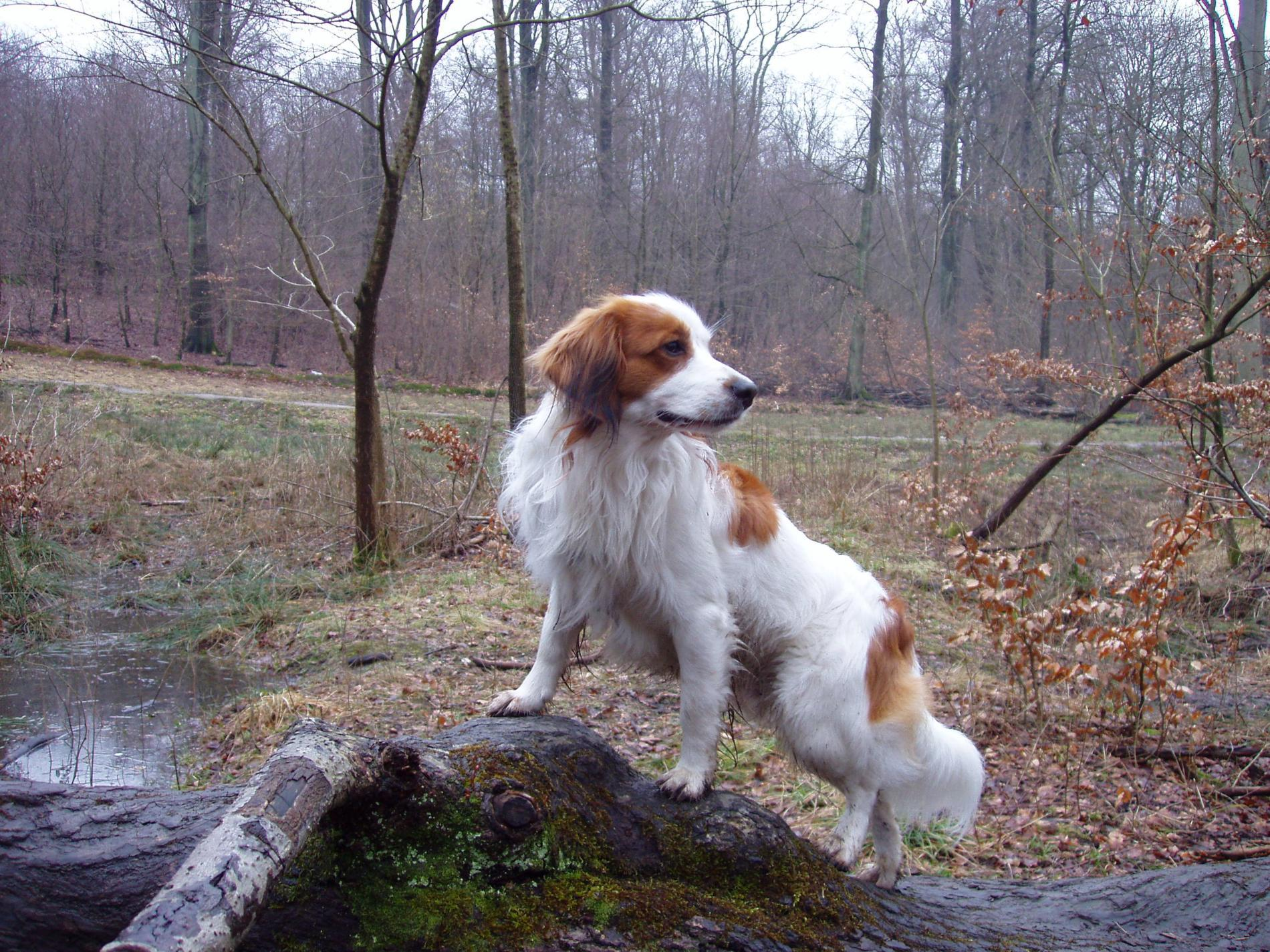Kooikerhondje dog in the forest wallpaper