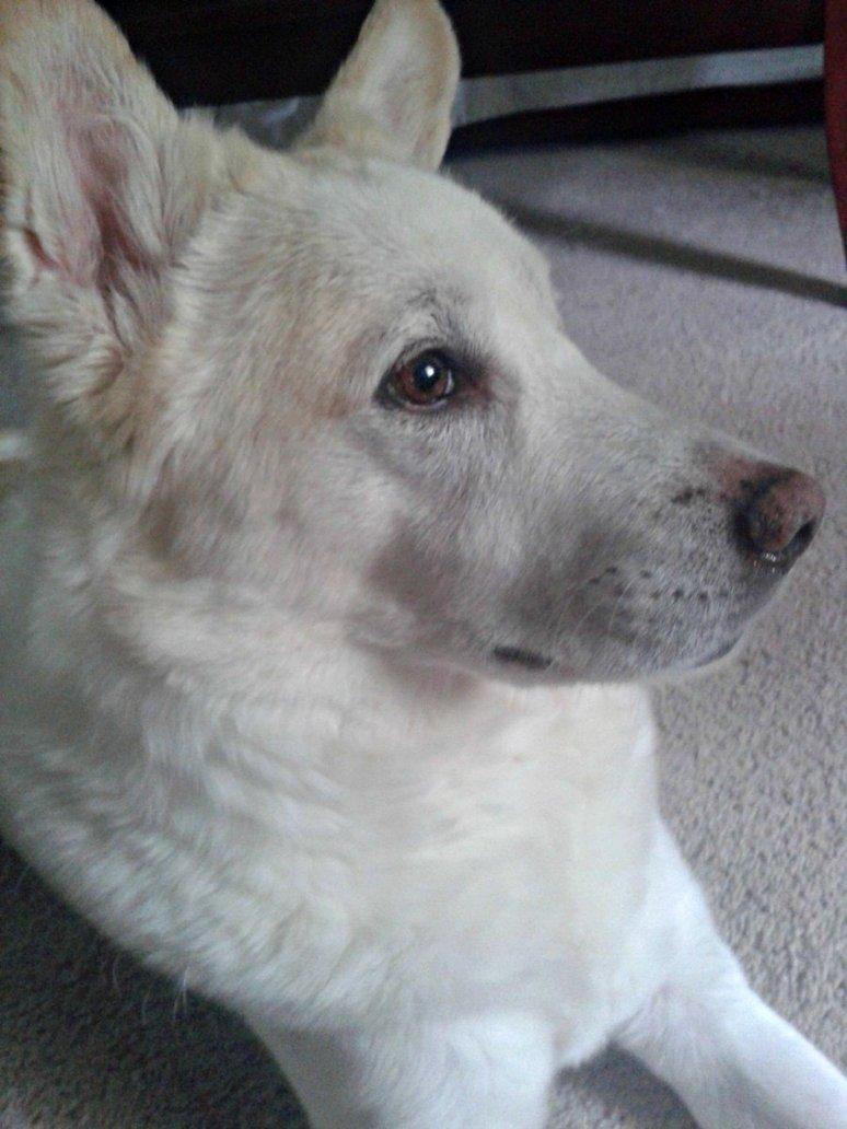 Морда корейской собаки Хиндо фото